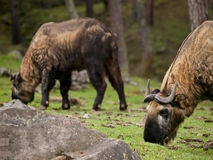 djur bhutan nationaltakin Arkivbild
