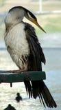djur cormorant royaltyfri bild