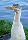 djur cormorant royaltyfria bilder