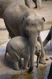 Djur - däggdjur - elefanter Royaltyfri Foto