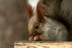 Djur däggdjurs- gnagareekorrelat Vulgaris Sciurus royaltyfri foto