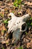 djur död skoghornsskalle Royaltyfria Foton