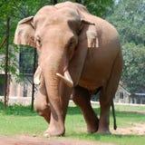 djur elefant Arkivfoton