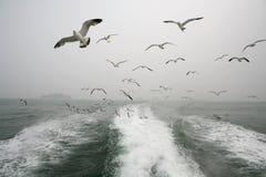 Djur: Fåglar på den onboard flygflocken för hav av seagulls Royaltyfria Bilder