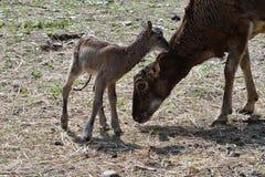 Djur förälskelse av mouflonmodern med det lilla lammet som betar gräset Royaltyfria Foton