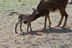 Djur förälskelse av mouflonmodern med det lilla lammet som betar gräset Royaltyfria Bilder