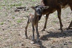 Djur förälskelse av mouflonmodern med det lilla lammet som betar gräset Arkivfoton