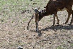 Djur förälskelse av mouflonmodern med det lilla lammet som betar gräset Royaltyfri Foto