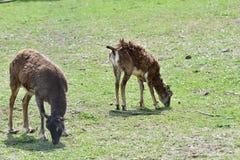 Djur förälskelse av mouflonmodern med det lilla lammet som betar gräset Royaltyfri Bild