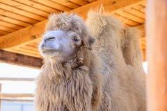 Djur för Bactrian kamel Arkivfoto