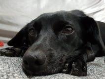 Djur för djur för fêmea för hundförälskelsecachorro Royaltyfri Fotografi