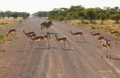 Djur på vägen Arkivfoto
