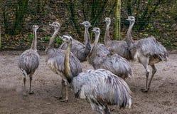 Djur familj av gemensamma nandu tillsammans, grupp av av flightless fåglar, nära hotade djur från Amerika arkivfoton