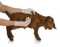 djur hälsa Royaltyfri Fotografi