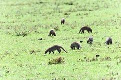 Djur i Afrika Arkivbild