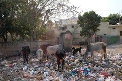Djur i avfallhög in i Jaipur arkivbild