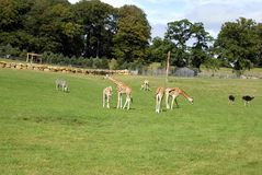 Djur i en zoo, en safari eller en safari parkerar Arkivfoton