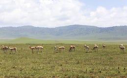 Djur i Maasai Mara, Kenya Arkivbild