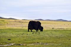 Djur i Mongoliet royaltyfria bilder