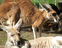 djur känguru arkivfoto