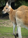 djur känguru royaltyfri foto