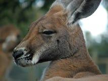djur känguru royaltyfri bild