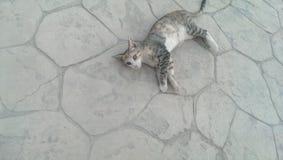 Djur katt som göras randig, nåd, hem som är härligt Royaltyfria Foton
