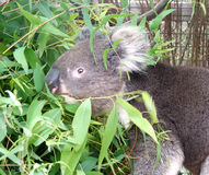 djur koala arkivfoto