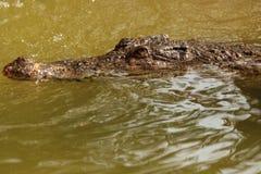 djur krokodil Royaltyfria Foton