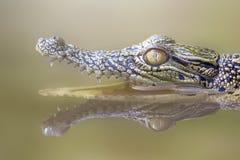 Djur krokodil, vatten, reflexioner, Royaltyfria Bilder