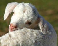 djur lantgård Fotografering för Bildbyråer