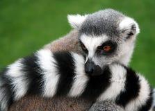 djur lemur Royaltyfri Foto
