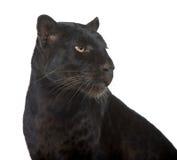 djur leopard för detalj för blackclosevarelse upp Arkivbild