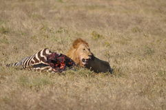 djur lion som ser det wild rovet Arkivbilder