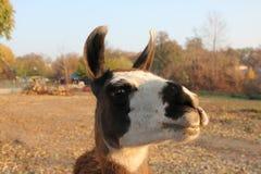 djur llama Arkivbild