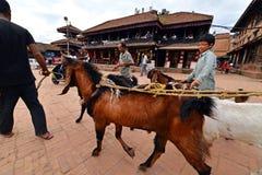 Djur marknad i Katmandu, Nepal Arkivbilder