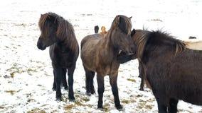 Djur natur för hästsnö arkivfilmer