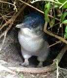 Djur natur Stanley Tasmania för felik pingvin Royaltyfria Foton