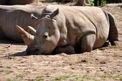 Djur - noshörning Royaltyfri Bild