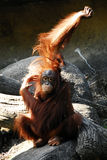 djur orangutanpongopygmaeus Arkivfoto