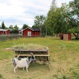 Djur på det frilufts- museet Hägnan i Gammelstad royaltyfri fotografi