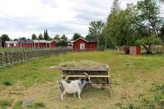 Djur på det frilufts- museet Hägnan i Gammelstad royaltyfria foton