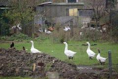 Djur på en liten lantgård i Mecklenburg-Vorpommern, Tyskland Royaltyfri Foto