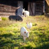 Djur på gårdsplan Arkivfoton