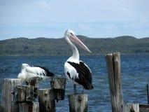 djur pelikan arkivfoton