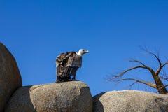 Djur plats för djurliv från naturen Gamsammanträde på vagga Arkivbild