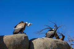 Djur plats för djurliv från naturen Gamsammanträde på vagga Arkivfoton