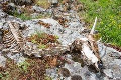 Djur sceleton av en get med dess skalle Arkivfoto