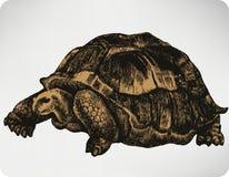 Djur sköldpadda, hand-teckning också vektor för coreldrawillustration Arkivfoto
