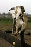 djur skalle Arkivbilder